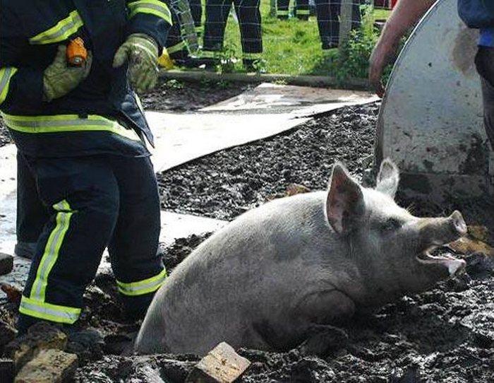 Пожарные из Хэмпшира спасли свинью, застрявшую в водосточном сливе недалеко от берегов реки Хэмбл в Хэмпшире. (PA)