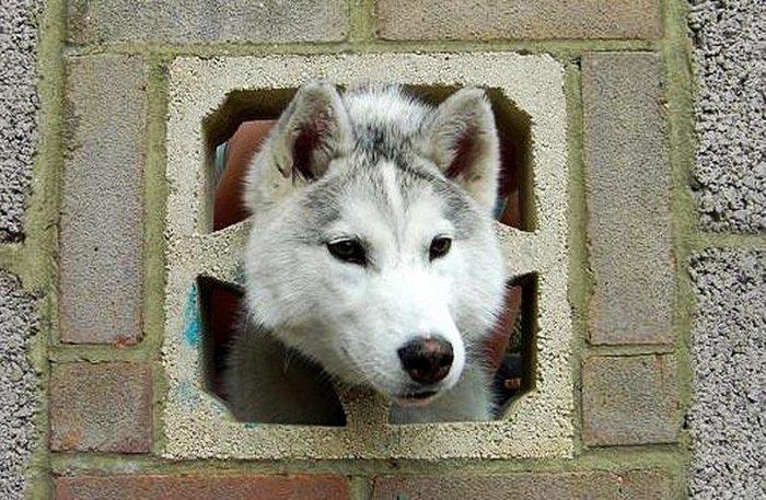 Полугодовалый кобель породы хаски по кличке Киану случайно застрял в отверстии ограды в городке Уитчерч, графство Хэмпшир. (PA)