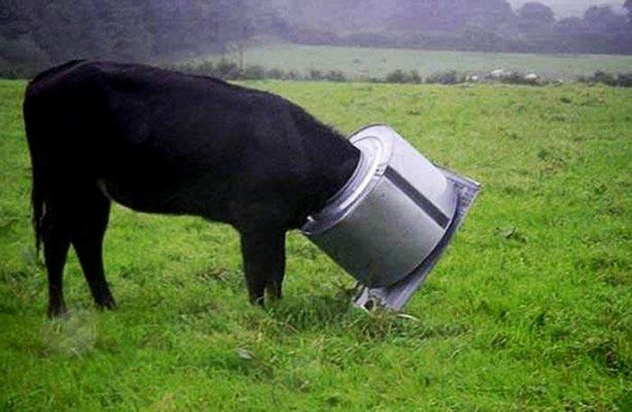 А эта любопытная корова застряла в барабане стиральной машины в Сент Колумбе, Корнуолл. (RSPCA/PA)